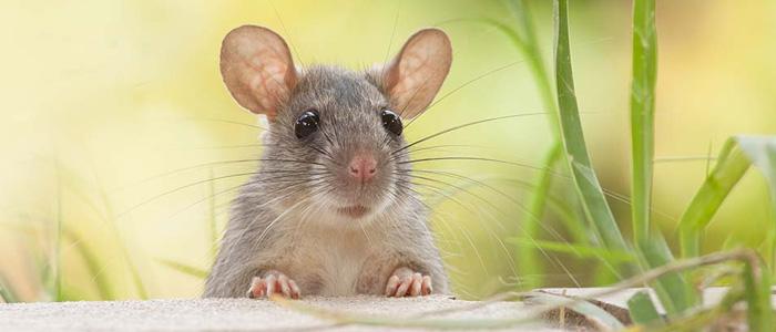 Rodent Control Kensington